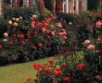 Garden of the roses
